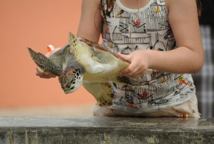 A turtle is held at the Cayman Turtle Centre