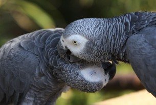 A pair of African Grey Parrots in the wild