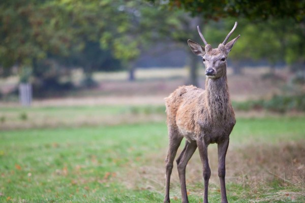 A deer in Richmond Park Credit Kay Lockett
