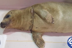 Harbor seal off to rehab after rescue from entanglement in ghost fishing gear