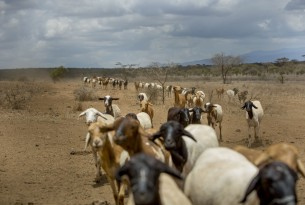 Goats in Kajiado