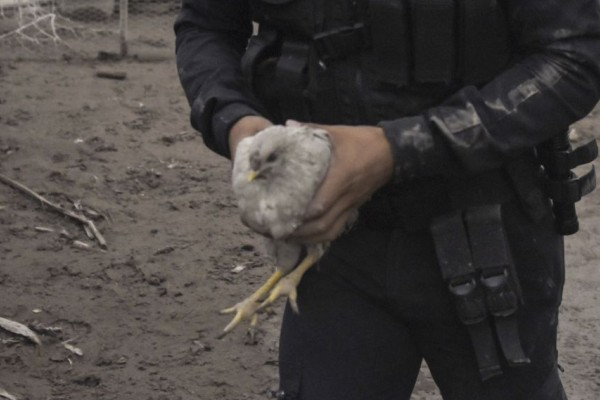 A police officer carries a chicken in the ash-covered village of San Miguel Los Lotes. AFP/Johan ORDONEZ