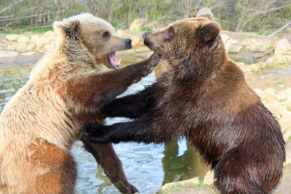Bear Fighting - World Animal Protection