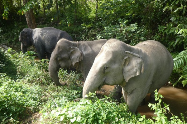 Tanwa (left) with Sow (middle) and Jahn (right) at Following Giants. Tanwa is a 28-year-old male elephant who was previously used in the brutal logging industry. He was transported by ferry to Following Giants in Nov, 2019. Credit: World Animal Protection