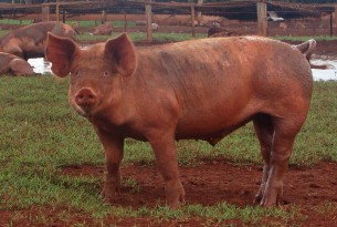 Pigs at high welfare farm in Brazil