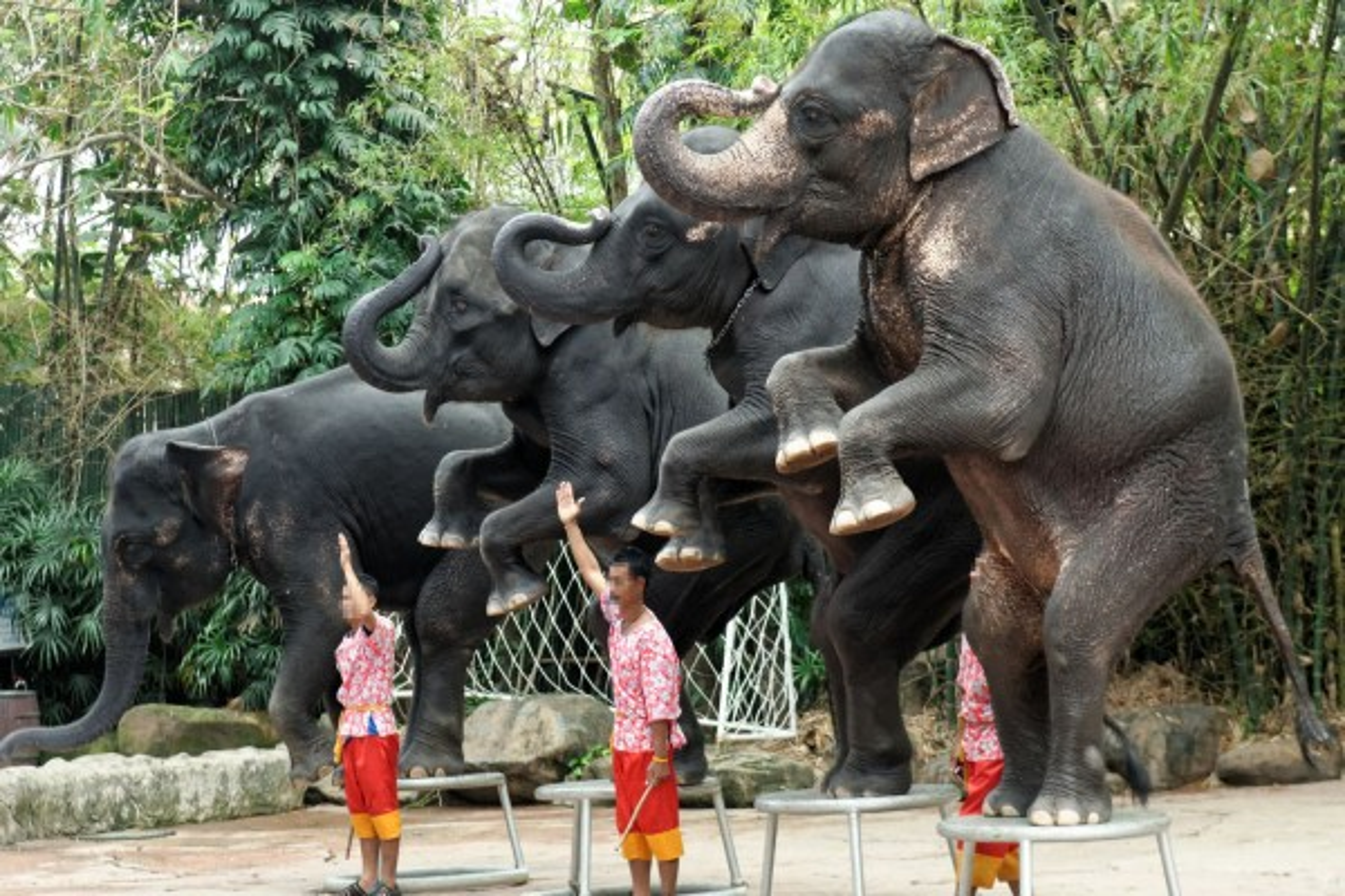 Elephants performing