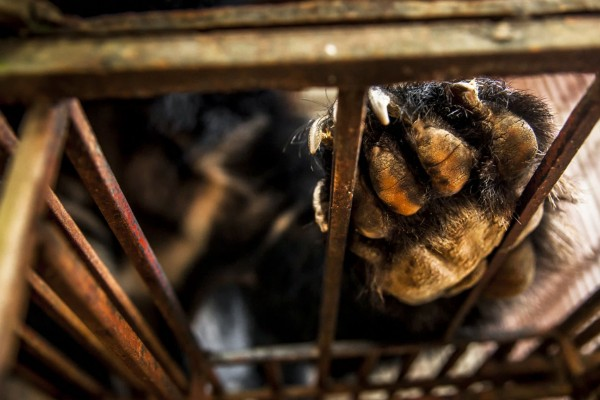 Bear in a cage at a bear bile farm in Vietnam - World Animal Protection
