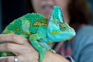 A chameleon being cared for at the Heathrow Animal Reception Centre after being seized by border authorities