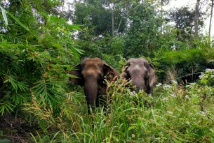 Elephants Gee Chreng and Ning Wan at Elephant Valley Project.