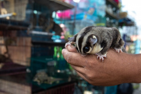 Pictured: a sugar glider in front of cages of other animals at a wildlife market in Indonesia.
