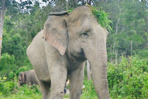 Mae Too, the biggest of 6 resident elephants at Chang Chill