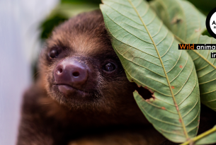 A baby sloth under a leaf