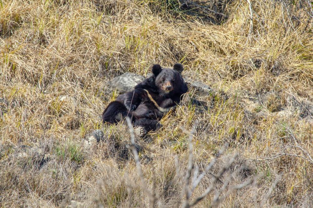 A bear in a new enclosure at the Balkasar Bear Sanctuary