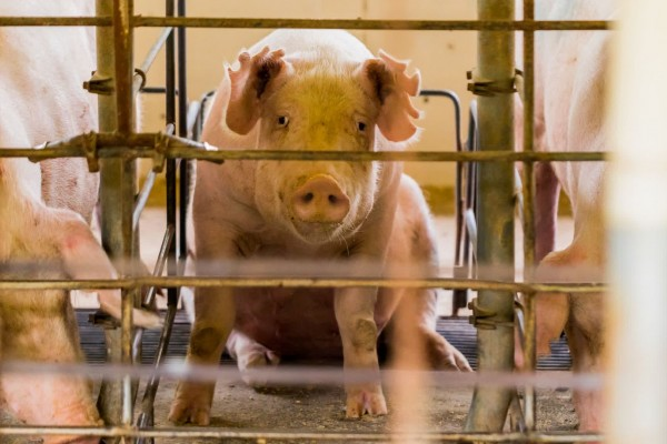 Pregnant pig in a cramped cage - Animals in farming - World Animal Protection