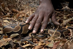 A ball python being poached from the wild