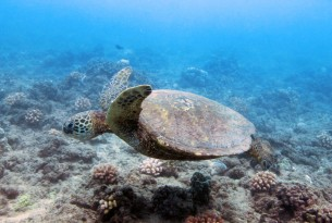 Turtle swimming of the coast of Hawaii - World Animal Protection - Sea Change