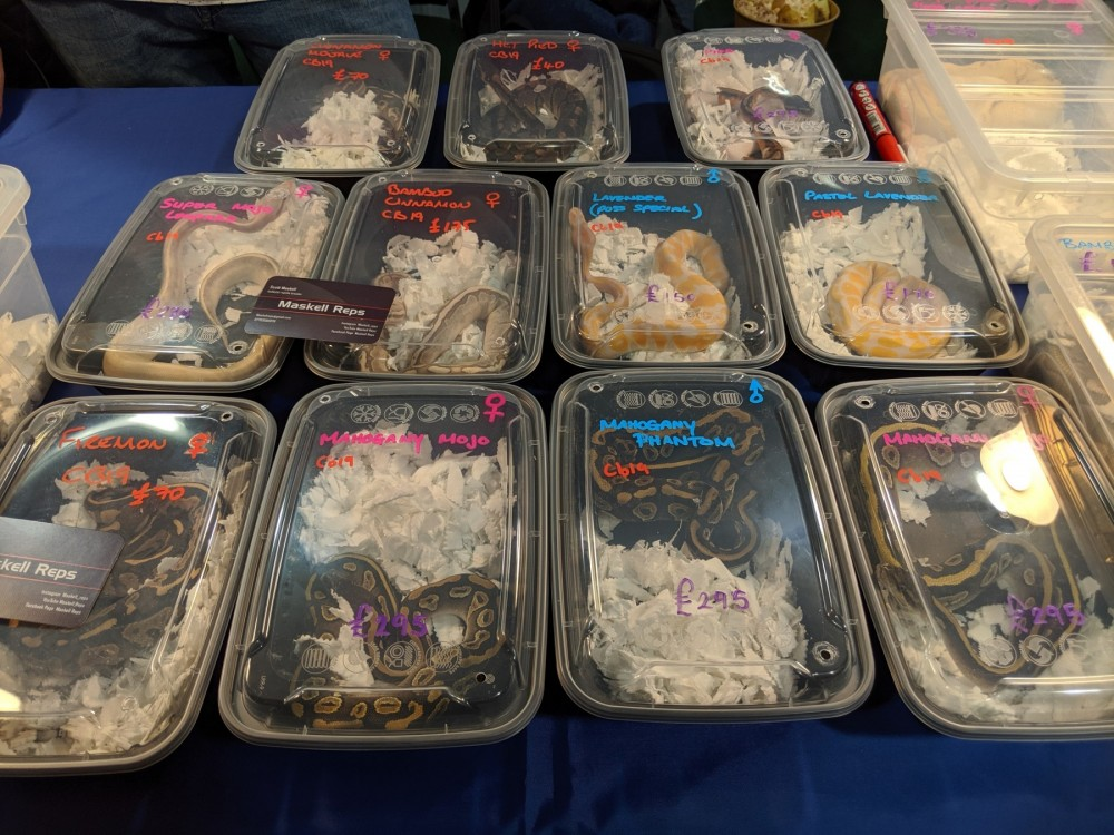 Ball pythons in small containers at a pet expo in the UK