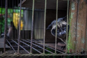 A caged civet, Bali, Indonesia