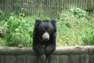 Sloth bear in Alipore zoo