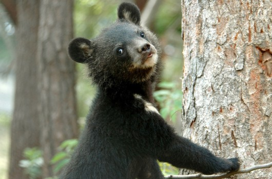 bears, bear bile,