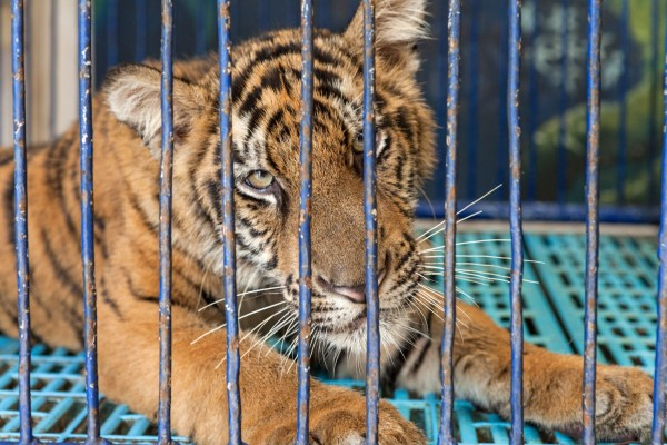 Caged tiger