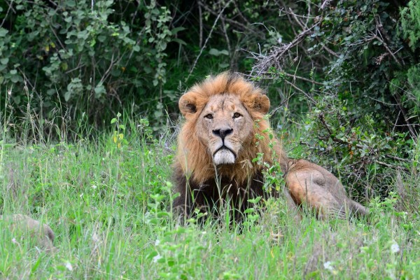 A male lion in the wild sits in long grass