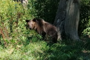 A bear at Libearty bear sanctuary by AMP