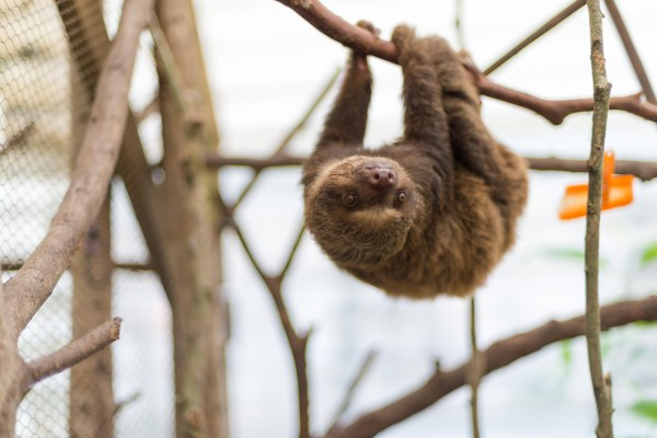 sloth, Colombia