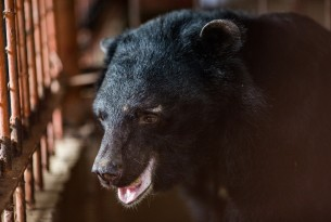 Bear rescue: we help save five bears from the cruel bear bile industry in Vietnam