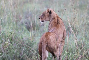 Fantastiska lejon