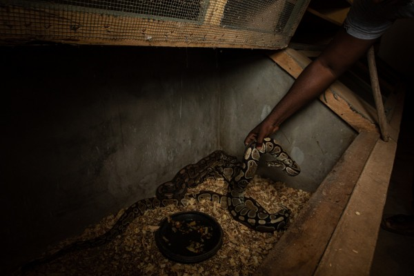 Ball pythons being ranched - photo by Aaron Gekoski for World Animal Protection
