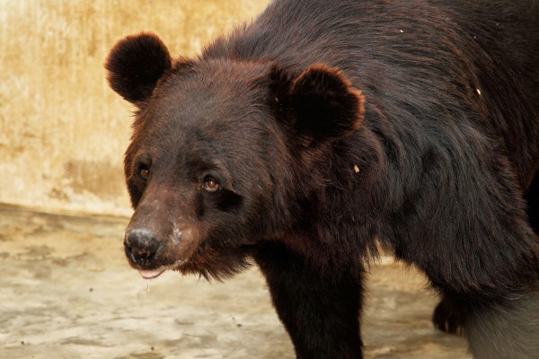 A rescued bear in quarantine of a sanctuary
