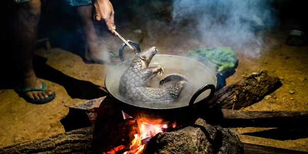 Pangolin being poached