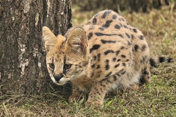 Pictured: A serval cat in a sanctuary.