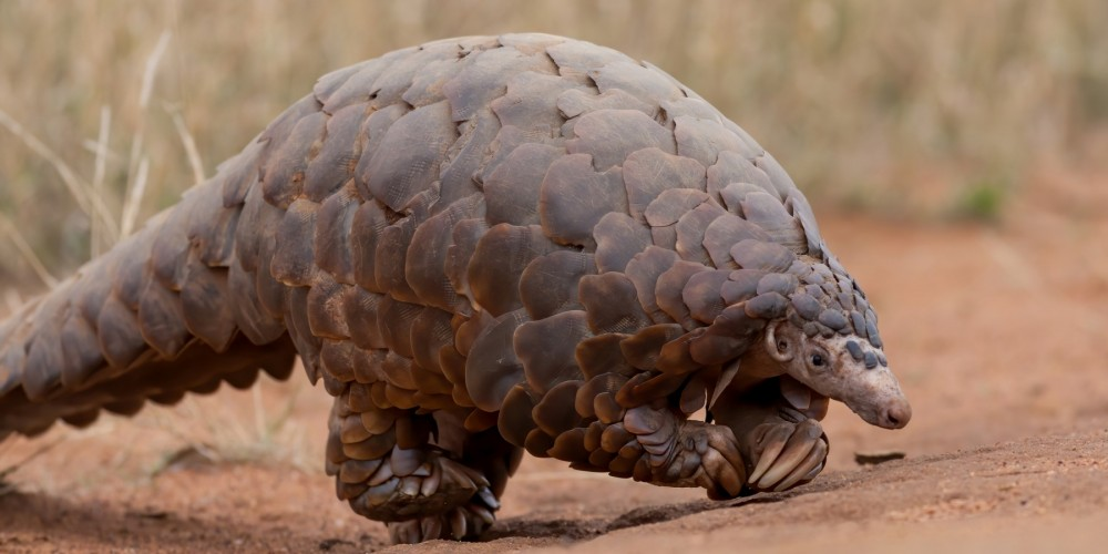 A ground pangolin at Madikwe Game Reserve in South Africa