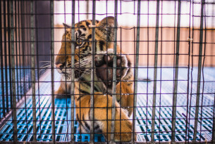 A baby tiger spends the entire day in this tiny cage, tourists pay to feed these baby tigers with milk.