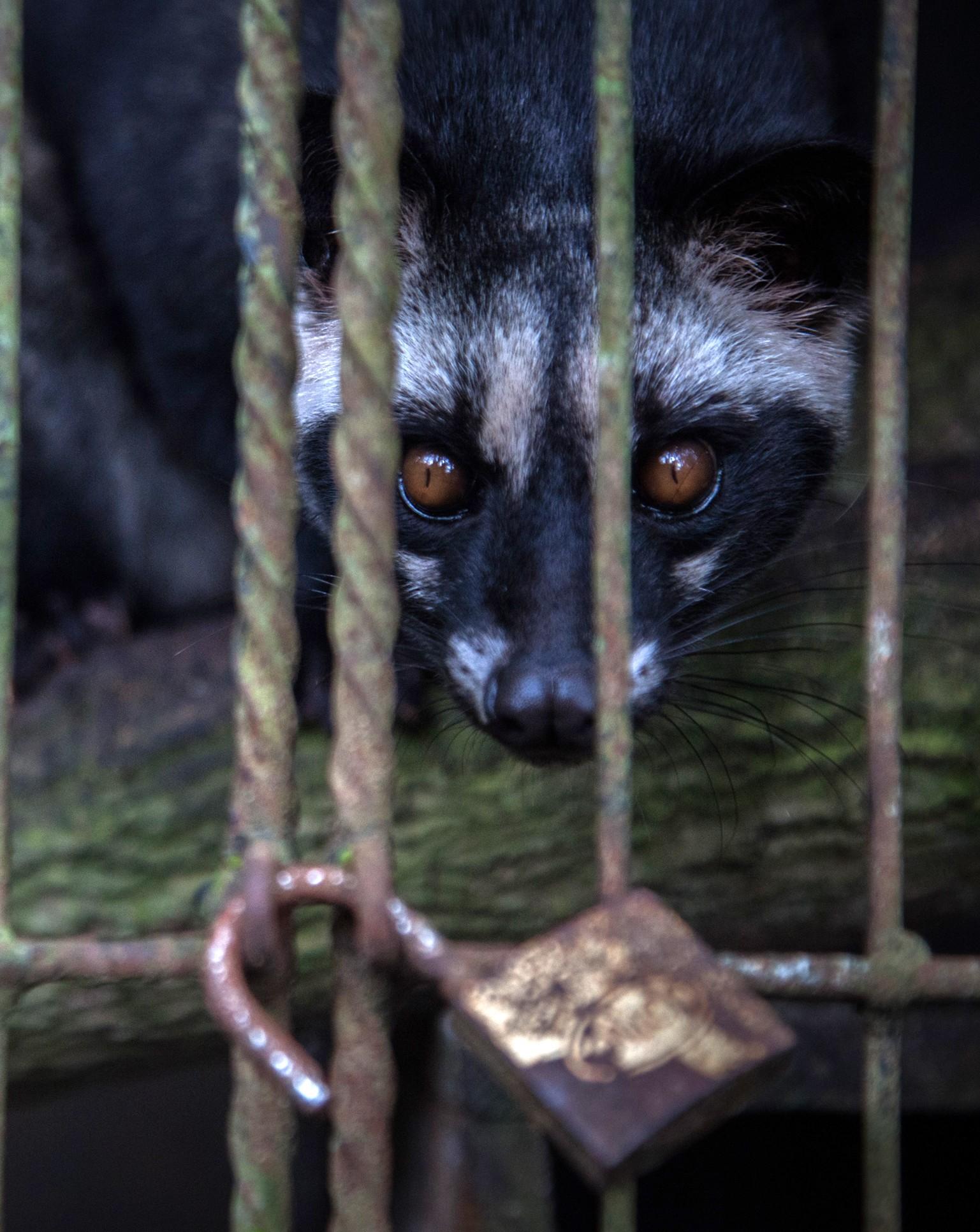 A caged civet cat at a Luwak coffee farm in Tampaksiring, Bali, Indonesia