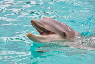 dolphin, captivity, vicky