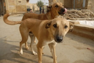 Stray dogs in Jaiselmer