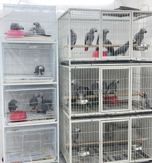 Grey parrots being sold as pets at a market in Doha, Qatar. Credit: World Animal Protection