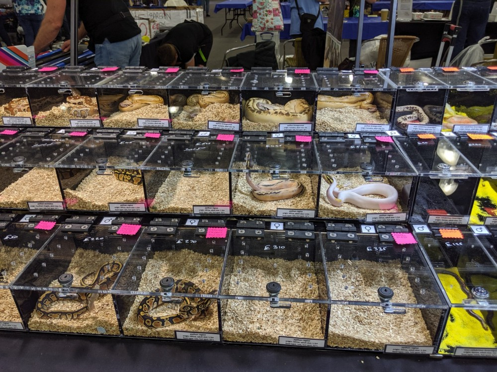 Pictured; Pythons displayed at a reptile expo in Doncaster, UK,