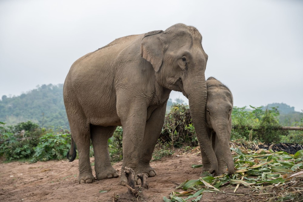 A mother elephant with her young