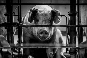 Caged mother pig on a factory farm - Animals in farming - World Animal Protection