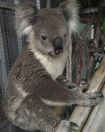 A koala at Hunter Wildlife, Australia