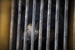 Rangila the 'dancing bear' finally arrives safely at sanctuary