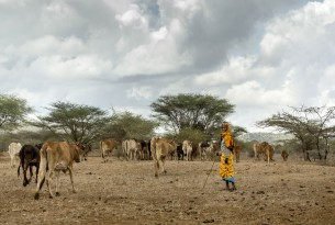 A maasai woman with her cows in Kajiado County, Kenya