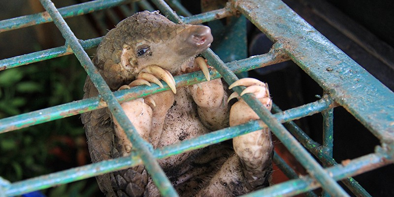 A seized pangolin at the Natural Resources Conservation Center Riau, Pekanbaru, Indonesia