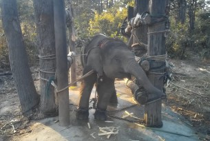 Oonboon the elephant in the crush - World Animal Protection - Animals in the wild