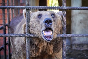 One of the bears kept in a cage at a restaurant in Sochi, Russia