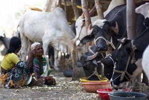 Disaster management for cattle, India